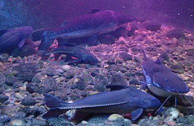 Catfish - Aquario de Bonito - photo by Luxury Experience
