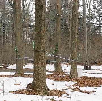 Maple Sap tube collection system - Stamford Museum & Nature Center - photo by Luxury Experience