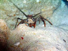 DIVE Bermuda - Lobster