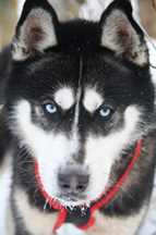 Sled Dog - Expedition Wolf, Quebec, Canada - Photo by Annette Faille