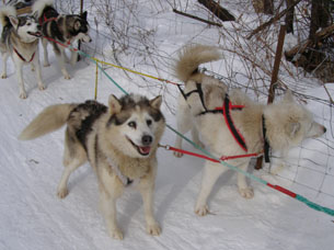 Soscuminca and Wishwachibi - Sled Dog - Expedition Wolf, Quebec, Canada - Photo by Luxury Experience