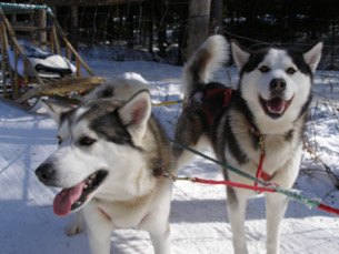 Tasniak and Tchotiwakan - Sled Dog - Expedition Wolf, Quebec, Canada - Photo by Luxury Experience