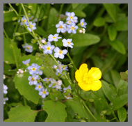 Forget-me-nots - Prouts Neck, Maine - photo by Luxury Experience