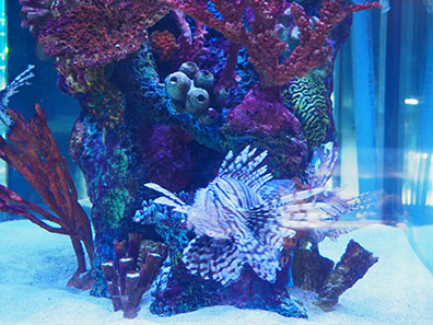 Lion Fish  - The Maritime Aquarium at Norwalk, CT - photo by Luxury Experience