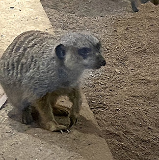 Meerkat  - The Maritime Aquarium at Norwalk, CT - photo by Luxury Experience