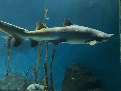 Shark - The Maritime Aquarium at Norwalk, CT - photo by Luxury Experience