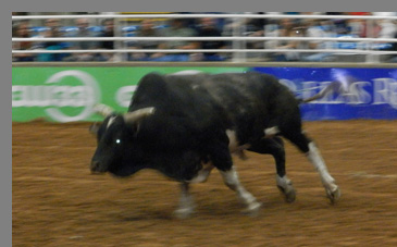 Charging Bull - Mesquite Rodeo - Mesquite, Texas - photo by Luxury Experience