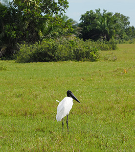 Tuiuiu - Safari Pequi Mato Grosso do Sul, Brazil - photo by Luxury Experience