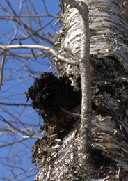 Chaga in tree spotted while Snowshoeing in Mont-Tremblant - Photo by Luxury Experience