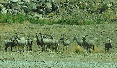 Big Horn Sheep and Wild Horses of Nevada - photo by Luxury Experience