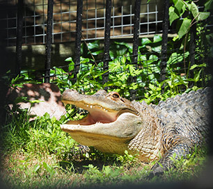 Alligator - Zoo in Forest park Education Center- Springfield, MA - photos by Luxury Experience