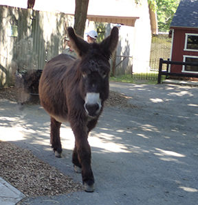 Mikey The Paitour Donkey - Zoo in Forest park Education Center- Springfield, MA - photos by Luxury Experience