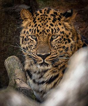 amur Leopard - photo by Jack Bradley