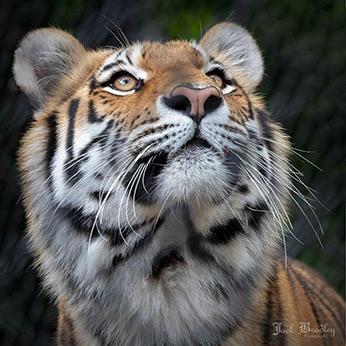 Amur Tiger - photo by Jack Bradley