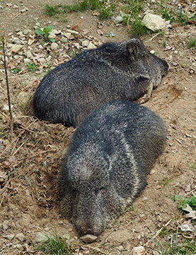 Chacoan Peccaries - photo by Luxury Experience