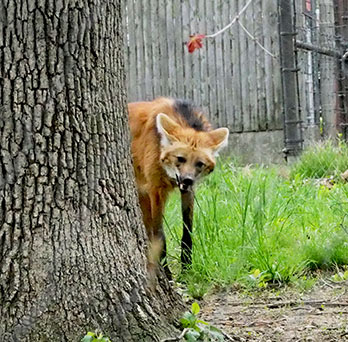 Maned Wolf - photo by Luxury Experience