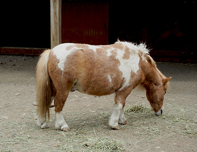 Miniature Horse - photo by Luxury Experience