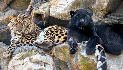 Amur Leopard - Orion and Kallisto - photo by Jack Bradley