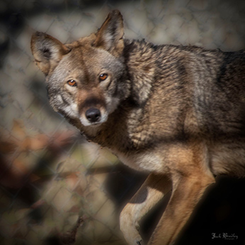 Red Wolf -Kawoni - photo by Jack Bradley