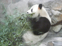 Beijing, China - Beijing Zoo - Panda