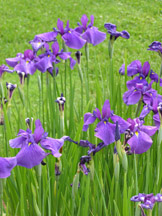 Japanese Irises - Berkshire Botanical Gardens, Stockbridge, Massachusetts, USA - Photo by Luxury Experience