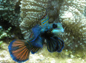 Mandarinfish - New England Aquarium, Boston