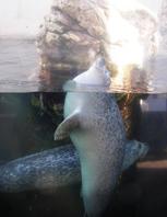 Seal at the New England Aquarium. Boston