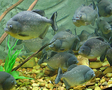 Piranha - Aquario de Bonito - photo by Luxury Experience