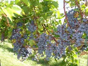 Haight-Brown Vineyard, Litchfield, Connecticut, USA - Grapes - Photo by Luxury Experience