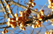 Sanddorn berry