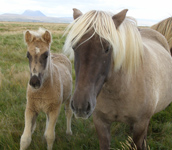 Icelandic foal and mare - Photo by Luxury Experience