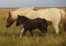 Icelandic Mare and Foal - Photo by Luxury Experience