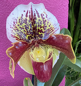 Paphiopedilum Slipper Orchid - NY Botanical Gardens Orchid Show - Photo by Luxury Experience