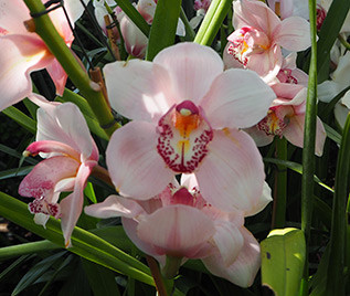 Cymbidium snow candy - New York Botanical Garden - Orchid Show 2018 - photo by Luxury Experience