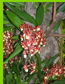 Oncidium -  New York Botanical Garden - NY - photo by Luxury Experience