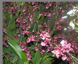Dancing Ladies Orchid- New York Botanical Gardesn - photo by Luxury Experience