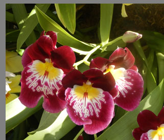 Pansy Orchids - New York Botanical Gardesn - photo by Luxury Experience