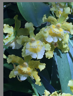 Yellow and White Orchid - NY Botanical Gardens - Photo by Luxury Experience