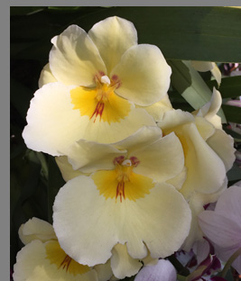 Yellow Pansy Orchid - New York Botanical Gardesn - photo by Luxury Experience