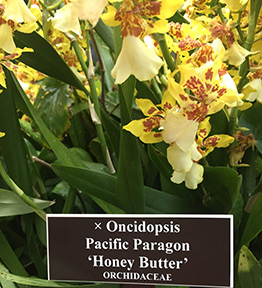 Dancing Lady Orchid - New York Botanical Garden - Orchid Show 2019 - Photo by Luxury Experience