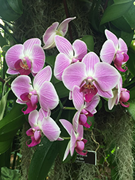 Moth Orchid - New York Botanical Garden - Orchid Show 2019 - Photo by Luxury Experience