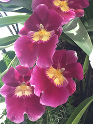 Pansy Orchid - New York Botanical Garden - Orchid Show 2019 - Photo by Luxury Experience