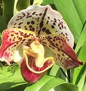 Slipper Orchid - New York Botanical Garden - Orchid Show 2019 - Photo by Luxury Experience