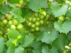 Old South Winery, Natchez, Mississippi, USA - Muscadine Grapes