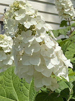 Paniculata Hydrangea - Rutgers Gardens - photo by Luxury Experience