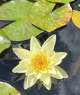 water Lilly - Rutgers Gardens - photo by Luxury Experience