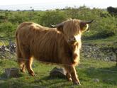 Torekov, Sweden - Cow