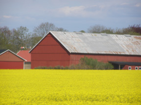 Yellow Fields of Skane, Sweden