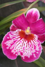 Orchid from New York Orchid Show 2006