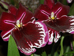 The 27th New York International Orchid Show - Miltoniopsis